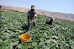 """Palestinian Farmers harvest """" Cucumber"""" from their farms in the West Bank city of Nablus on May 7, 2013. The Farmers prepare to harvest summer season crops. Photo by Issam Rimawi"""
