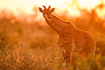 South African Giraffe (Giraffa giraffa giraffa) juvenile at sunset, Greater Makalali Private Game Reserve, South Africa