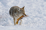 A coyote carries a frozen sucker from a hole in the ice of the frozen Snake River in Grand Teton National Park, Wyoming.