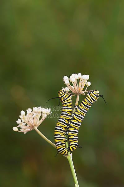 Monarch (Danaus plexippus), caterpillars eating from aquatic milkweed, Hill Country, Texas, USA