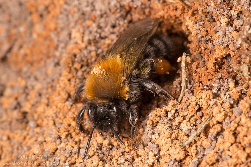 Mining Bee {Andrena clarkella} excavating nest in sandy soil. Peak District National Park, Derbyshire , UK. April.