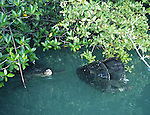 mating green sea turtles