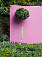 Close-up view of Buxus hedging with a lollipop-shaped feature plant against a pink rendered wall