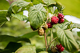USA, Alaska, Homer, China Poot Bay, Kachemak Bay, fresh Rasberries found at the Kachemak Bay Wilderness Lodge