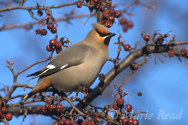 Bohemian Waxwing (Bombycilla garrulus) adult amid crabapple fruits, New York USA<br />