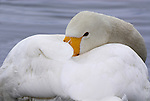 Whooper swan, Cygnus cygnus, beak resting in feathers, lake Kussharo-ko, Hokkaido Island, Japan, japanese, Asian, wilderness, wild, untamed, ornithology, snow, graceful, majestic, aquatic.Japan....
