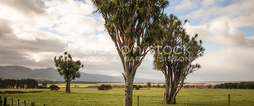 Cabbage trees on Wairarapa farmland (panoramic), New Zealand - stock photo, canvas, fine art print