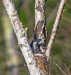 Eastern kingbird - parent and nestlings