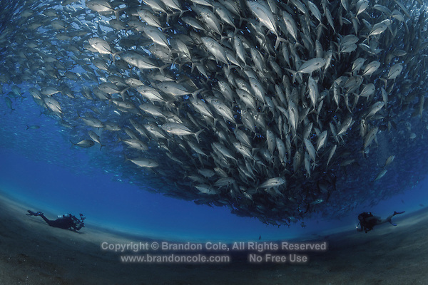 TW0584-D. Scuba divers (model released) swim amongst and photograph a huge spawning aggregation of Bigeye Jacks (Caranx sexfasciatus) comprised of many thousands of fish. Fish stocks have rebounded significantly with strict protection. Cabo Pulmo National Park. Baja, Mexico, Sea of Cortez, Pacific Ocean.<br /> Photo Copyright &copy; Brandon Cole. All rights reserved worldwide.  www.brandoncole.com