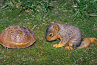 Young eastern fox squirrel, Sciurus carolinensis, bows down and faces the closed shell of an ornate box turtle