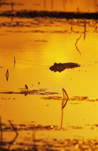 American Alligator, Alligator mississipiensis, adult at sunrise, Welder Wildlife Refuge, Sinton, Texas, USA, June 2005