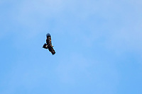 Wedge-tailed Eagle (Aquila audax audax) in flight over Kangaroo Island, South Australia, Australia.