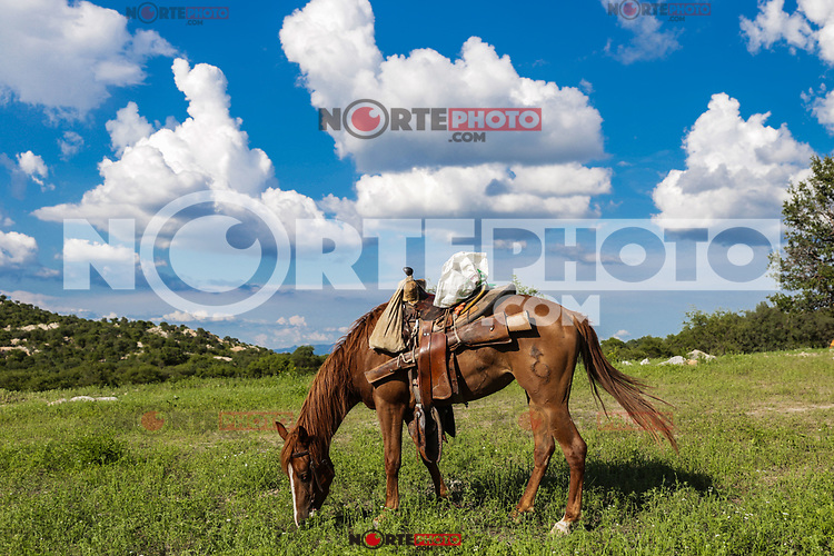 A horse with a horse grazes in the field for a day. Landscape of clouds and blue sky at Rancho el Llano, Sierra Los Locos, municipality of San Felipe de Jesús, Sonora, Mexico and Aconchi Sonora, during the Madrean Discovery Expedition (MDE) of the GreaterGood.org MDE organization.<br /> (Photo: Luisgutierrez / NortePhoto.com)<br /> <br /> un caballo con montura pasta en el campo durante un dia. Paisaje de nubes y cielo azul en el Rancho el Llano, Sierra Los Locos, municipio de San Felipe de Jesús, Sonora, México y Aconchi Sonora, durante las Expedición Madrean Discovery (MDE) de la organización GreaterGood.org MDE.<br /> (Photo:Luisgutierrez/NortePhoto.com)
