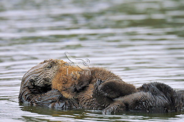 """Sea Otter (Enhydra lutris) mother and young baby/pup resting.  Young pups have light brown or yellowish fur called the """"natal pelage.""""  This fluffy fur helps the pup stay afloat before it learns the intricacies of swimming, and it will be completely replaced with dark brown adult fur by the time the pup is about three months old."""