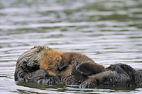 "Sea Otter (Enhydra lutris) mother and young baby/pup resting.  Young pups have light brown or yellowish fur called the ""natal pelage.""  This fluffy fur helps the pup stay afloat before it learns the intricacies of swimming, and it will be completely replaced with dark brown adult fur by the time the pup is about three months old."