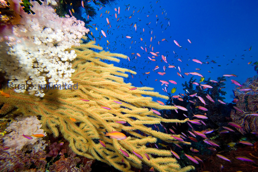 Alconarian and Gorgonian Coral with schooling Anthias dominate this Fijian reef scene.