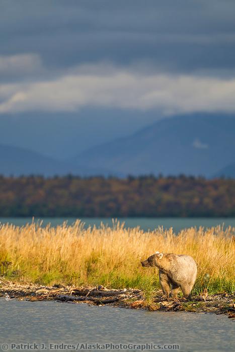 Brown bear along the shores of the Brooks river in Katmai National Park, southwest, Alaska.