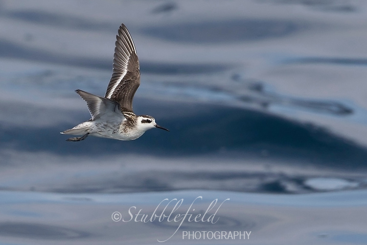 Red-necked Phalarope (Phalaropus lobatus), juvenile in flight over the waters of the Monterey Bay National Marine Sanctuary.
