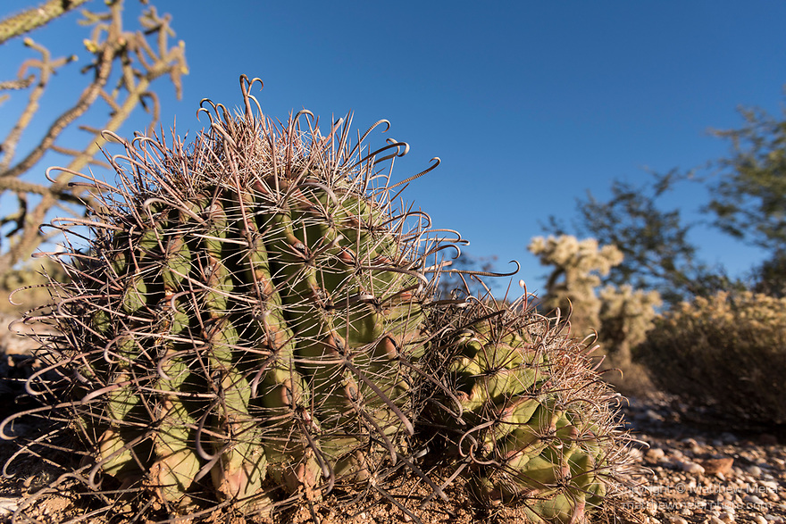 Tucson, Arizona; a pair of young fishhook barrel cactus growing on the desert floor in early morning sunlight