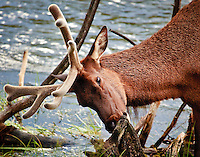 A bull elk still in velvet eating moss off a tree along the banks of the Madison River in Yellowstone National Park.