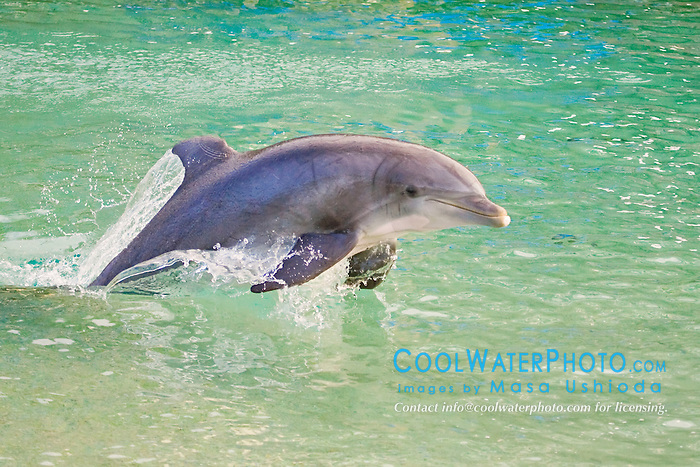 Atlantic bottlenose dolphin, Tursiops truncatus, jumping, Dolphin Quest, Hilton Waikoloa Village, Big Island, Hawaii, USA (c)