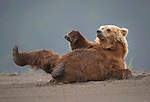 Bear reclines back on the sand for a nap by Ken Conger