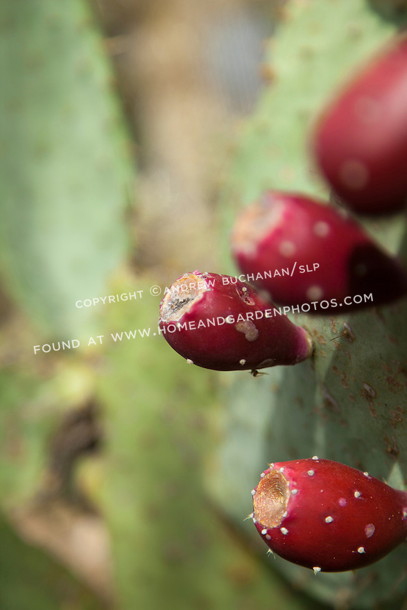 Bright red fruit of the prickly pear cactus.