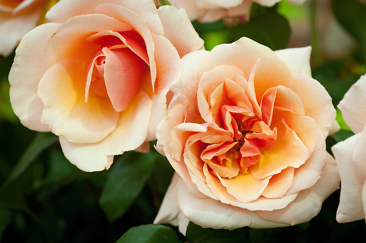 Rosa 'Iced Ginger', early July. A Floribunda rose with scented, copper-pink flowers. Bred by Dickson, 1971.