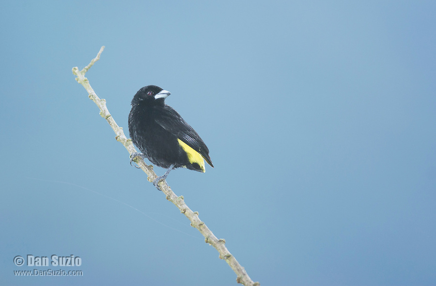 Male lemon-rumped tanager, Ramphocelus icteronotus, Tandayapa Valley, Ecuador