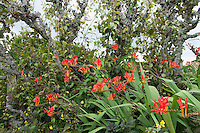 Montbretia (Crocosmia) growing in a border at Great Dixter