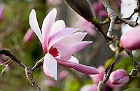Magnolia dawsoniana 'Clarke' flowering winter tree blossom in San Francisco Botanical Garden