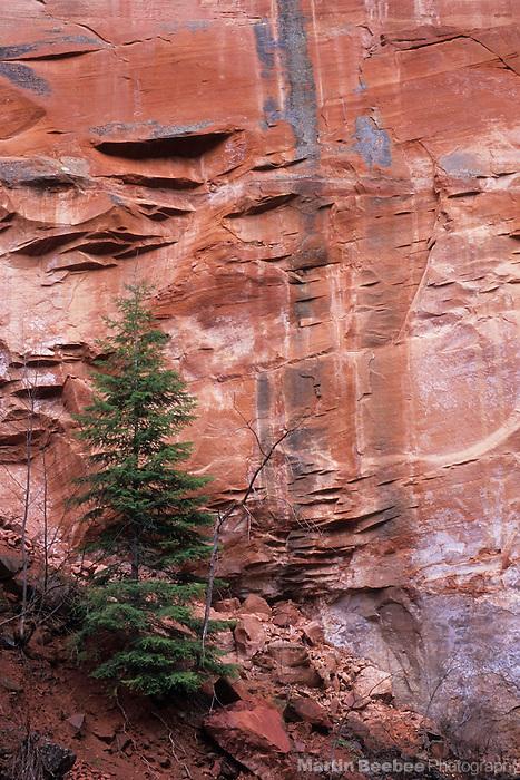 Tree below sheer cliff face, Oak Creek Canyon, Arizona