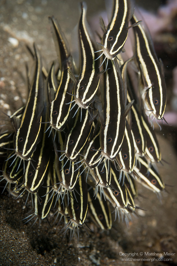 Dumaguete, Dauin, Negros Oriental, Philippines; a school of striped catfish foraging for food across the sandy bottom