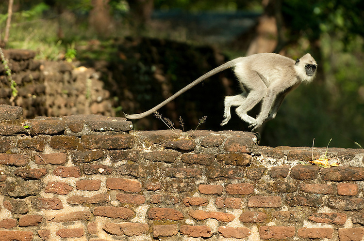 A grey langur runs across the 13th century city walls in the archaeological reserve, Polonnaruwa, Sri Lanka