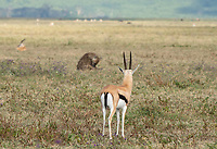 Thomson's Gazelle, Eudorcas thomsonii, watches a Spotted Hyena, Crocuta crocuta, in Ngorongoro Crater, Ngorongoro Conservation Area, Tanzania