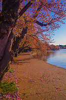 Cherry Blossoms along the Water