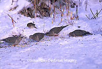 01081-00614 Mourning Doves (Zenaida macroura) in winter, Marion Co.   IL