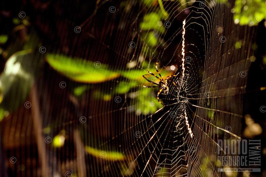 yellow garden spider Argiope appensa on web