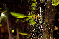 yellow garden spider Argiope appensa on web
