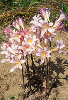 Amaryllis belladonna Naked Ladies flowers with no leaves, on stems, growing in ground from bulbs