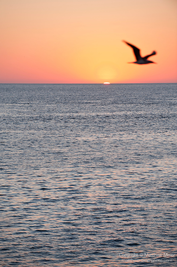 Sea of Cortez, Baja California, Mexico; a Brown Booby (Sula leucogaster) bird is silhouette against sunrise over the Gulf of California