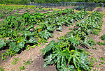 Courgette plants growing in vegetable garden, Sissinghurst castle gardens, Kent, England, UK