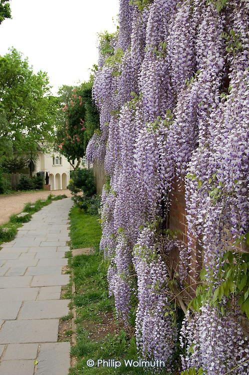 Wisteria outside a house in a private road in Hampstead, London