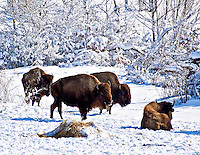 Buffalo at Shelby Farms after winter snowfall Memphis TN.