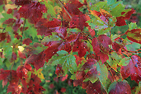 Autumn Maple leaves, Strawbridge Lake, New Jersey