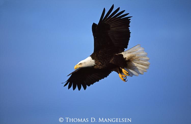 A portrait of a bald eagle in flight in Southeast Alaska.
