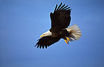 A portrait of a bald eagle in flight in Southeast Alaska.