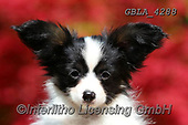 Bob, ANIMALS, REALISTISCHE TIERE, ANIMALES REALISTICOS, dogs, photos+++++,GBLA4288,#a#, EVERYDAY