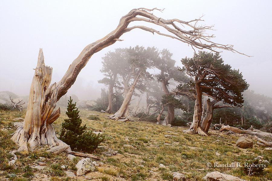 Bristlecone pine in fog, Mt. Goliath Scenic Area, Mt. Evans highway, Colorado