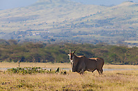 Common eland (Taurotragus oryx) with superb starling (Lamprotornis superbus), Soysambu Conservancy, Great Rift Valley, Kenya.  Close inspection of this huge animal shows it's missing its left ear.